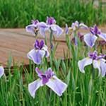 Bulaklak sa Hunyo(6月の花)