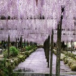 등나무 꽃(藤の花)