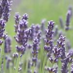 Thông tin về hoa