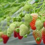 摘草莓(いちご狩り)